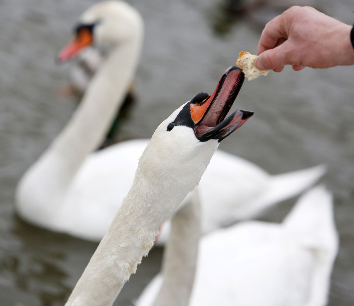 swans-feeding-in-this-pandemic